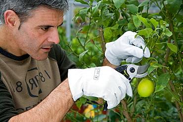 Gardener pruning lemon tree, Garden, Tree nursery, Gipuzkoa, Euskadi, Spain.