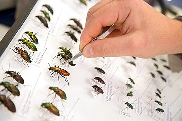Identification of forest beetles (Coleoptera Carabidae), Entomology box, Entomology Laboratory, Neiker Tecnalia, Instituto de Investigacion y Desarrollo Agrario, Ganadero, Forestal y del Medio Natural, Arkaute, Alava, Euskadi, Spain.