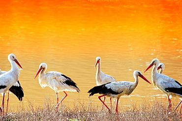 Storks at Donana National Park, Huelva province, Spain