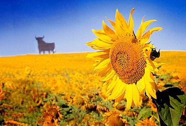 Osborne wineries bull and sunflowers, Spain