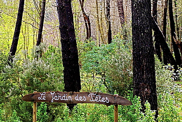France, Corsica, 'Les Jardins Traditionels du Cap Corse', at Luri : pine trees area.