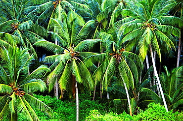 India, Coconut palms in a tropical forest near Trivandrum.