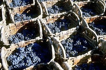Vintage, Grape harvest, Large baskets (gigo) used to transfer grapes to the 'lagares' (winepress), Douro vineyards.The river Douro valley, Port wine (Vinho do Porto), Portugal