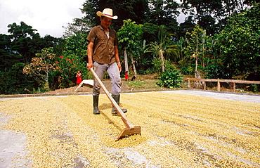 Drying coffee in the sun, Jalapa, Nicaragua