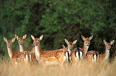 Fallow Deers (Dama dama), captive, Denmark