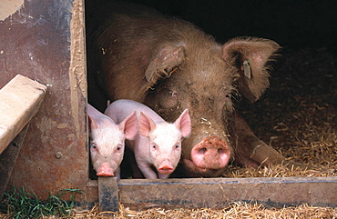 Large white sow and piglets