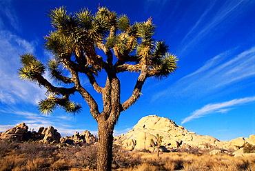 Joshua Tree (Yucca brevifolia), Joshua Tree National Park, California, USA
