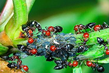 Hormigas (Crematogaster scutellaris) cuidando una colonia de pulgones (Familia Aphididae)