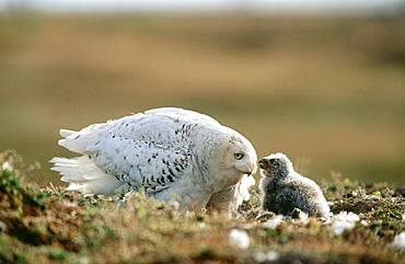 Snowy Owl (Nyctea scandiaca) with Chick, Alaska, USA