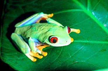 Red-eyed Tree Frog (Agalychnis callidryas), captive, Costa Rica
