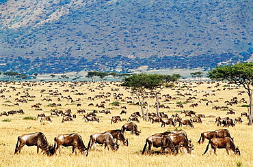 Blue Wildebeest (Connochaetes taurinus) migrating, Masai Mara Nature Reserve, Kenya - 817-76953