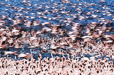 Lesser Flamingos (Phoenicopterus minor), Lake Bogoria, Kenya