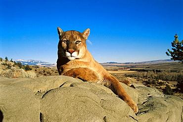 Cougar (Felis concolor), Montana, USA