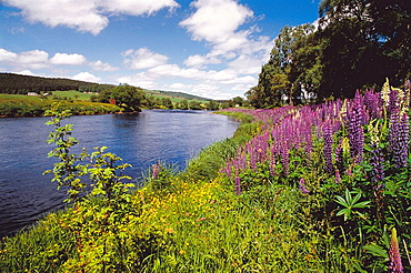 Wildflowers and lupins by Spey river, Grantown-on-Spey, Scotland, UK
