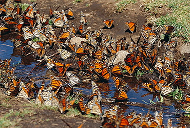 Monarch Butterflies (Danaus plexippus), El Rosario Butterfly Reserve, Michoacan, Mexico