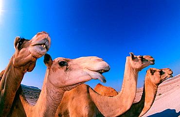 Camels (Camelus dromedarius), Bahrain