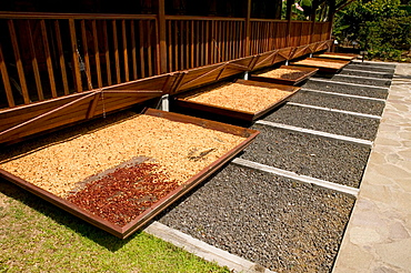 French West Indies (FWI), Guadeloupe, Basse-Terre, Vieux-Habitants: Musee du Cafe- Coffee Museum & Roasters, Coffee Beans Drying