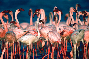 Lesser Flamingoes (Phoeniconaias minor), Lake Bogoria, Kenya