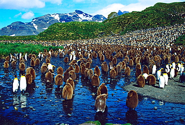 King Penguins colony (Aptenodytes patagonica), South Georgia, UK