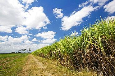 AUSTRALIA - Queensland - WHITSUNDAY COAST - Marian: Pioneer Valley - Sugar Cane Field