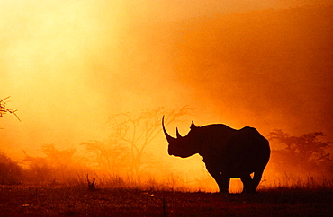 Black Rhino (Diceros bicornis) in foggy sunrise, Kenya, Africa