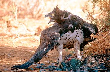 Martial Eagle (Polemaetus bellicosus), Kenya