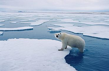 Polar Bear (Ursus maritimus), Picture taken in the North West of Spitzberg (Svalbard), around 80 degree of lattitude north.