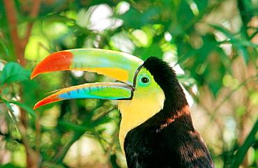 Keel billed Toucan (Ramphastos sulphuratus)