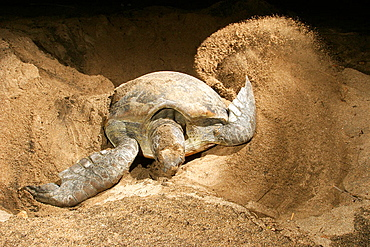 Sea turtle ou green turtle (Chelonia mydas) laying eggs, Mayotte, Indian Ocean.