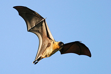 Endangered endemic fruit bat in Mayotte (Pteropus seychellensis comorensis), Indian Ocean.