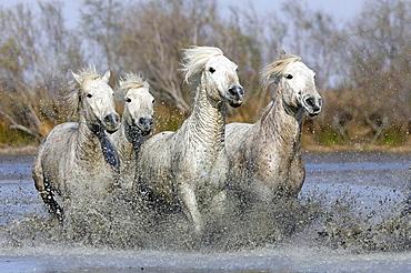 Camargue horses, Saintes-Maries-de-la-Mer, Camargue, Bouches du Rhone, France.