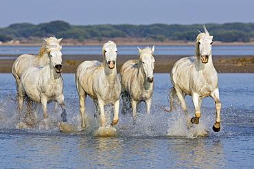 Camargue horses, Saintes Maries de la Mer, Bouches du Rhone, Camargue, France.