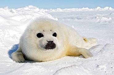 Harp Seal (Phoca groenlandica), pup, Magdalen Islands, Quebec, Canada