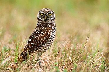 Burrowing Owl (Speotyto cunicularia), Florida, USA