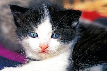 Black-white kitten
