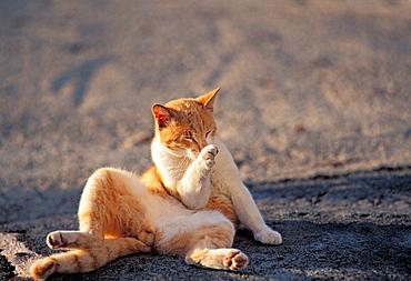 Cat, Lanzarote, Canary Islands, Spain