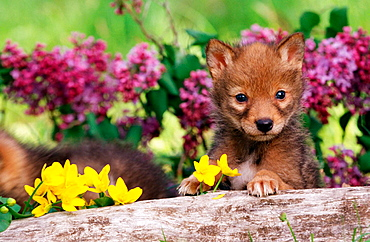 Captive coyote (Canis latrans) pup, Minnesota, USA.
