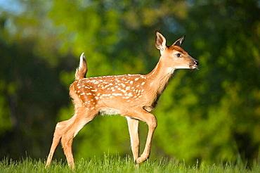 White tailed deer (Odocoileus virginianus)/fawn/captive