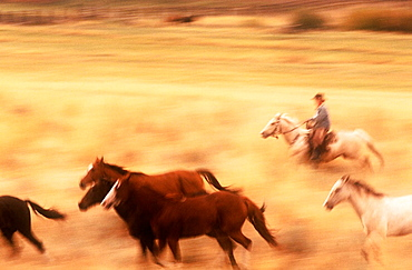 Wild Mustangs (Equus caballus), Oregon, USA.