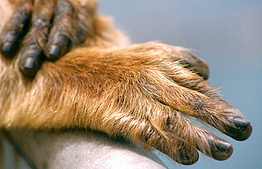 Barbary Macaque (Macaca sylvanus), hands