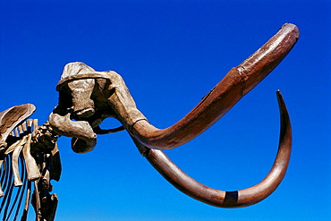 Woolly Mammoth (Mammuthus primigenius) male adult, 11.000 yrs old.