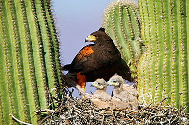 Harris' Hawk (Parabuteo unicinctus), At nest in saguaro cactus, group hunters showing rabbit prey raptor, Desert dwellers, Arizona, USA.