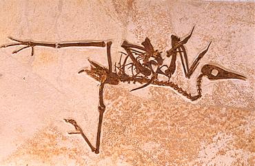 Fossil bird, Eocene epoch, Green River formation, Wyoming, USA