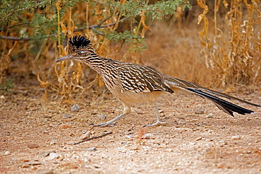 Greater Roadrunner (Geococcyx californianus), Arizona, Large-crested terrestrial bird of arid Southwest, Common in scrub desert and mesquite groves, Seldom flies, Eats lizards-snakes and insects.