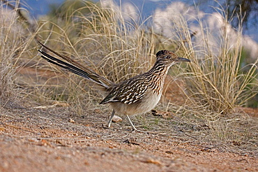 Greater Roadrunner Running (Geococcyx californianus) - Arizona - Large-crested-terrestrial bird of arid Southwest - Common in scrub desert and mesquite groves - Seldom flies -Eats lizards-snakes and insects