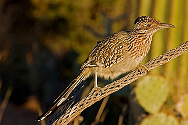 Greater Roadrunner (Geococcyx californianus) - Arizona - Perched on branch - Large-crested-terrestrial bird of arid Southwest - Common in scrub desert and mesquite groves - Seldom flies -Eats lizards-snakes and insects