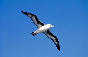 Black-browed Albatross (Diomedea melanophris), Near Campbell Island, New Zealand