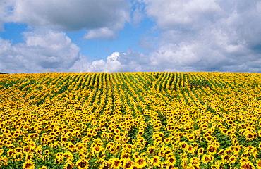 Sunflowers field, Domme, Dordogne, France