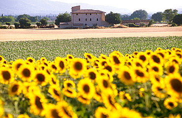 Sunflowers, Assisi, Umbria, Italy