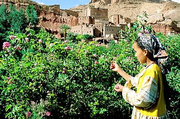 Roses harvesting near Tourbist village, Dades Valley, Great Atlas region, Morocco